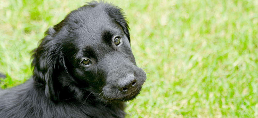 Flatcoated Retriever Welpe